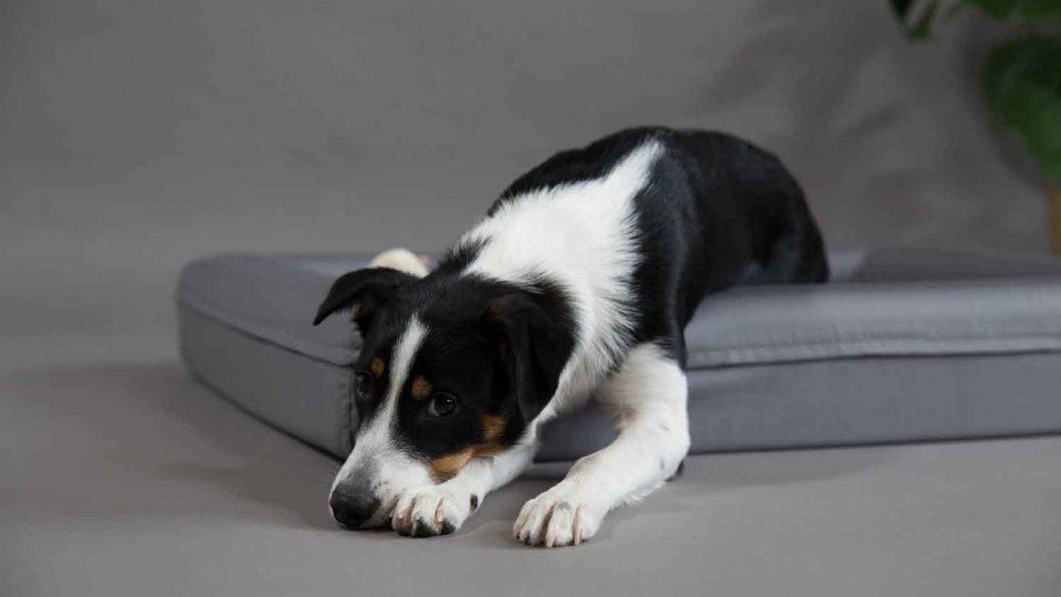 Ein schwarz-weißer Hunde liegt im grauen Finnto Hundebett und blick sehnsüchtig in die Kamera