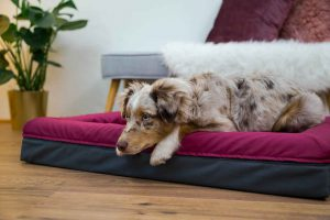 Der süße Australian Shepherd Hund liegt im Finnto Hundebett und blickt sehnsüchtig an der Kamera vorbei