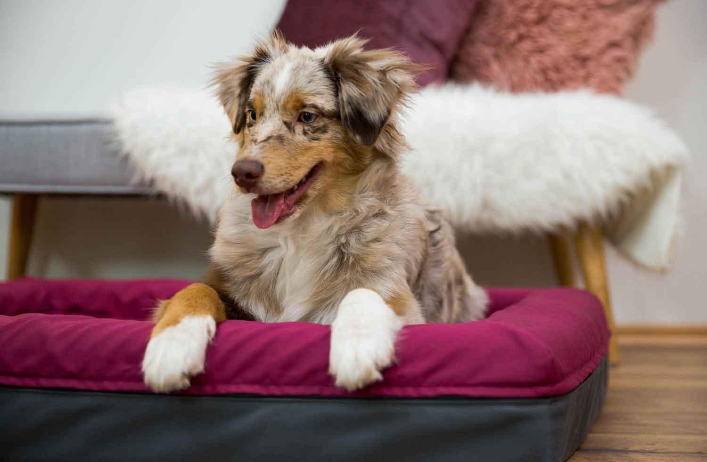 Der süße Australian Shepherd Hund liegt gespannt im Finnto Hundebett.