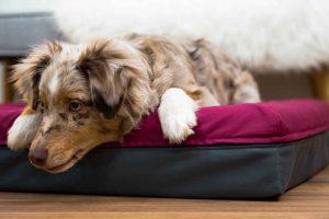 Der süße Australian Shepherd Hund liegt im berrie-frabenen Finnto Hundebett und schaut an der Kamera vorbei