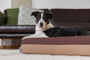 Der süße schwarz-weiße Hunde liegt im braunen Finnto Hundebett und sieht in die Kamera